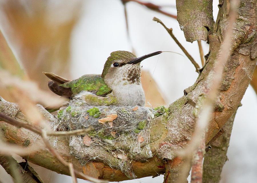 annas-hummingbird-on-nest-carl-jackson