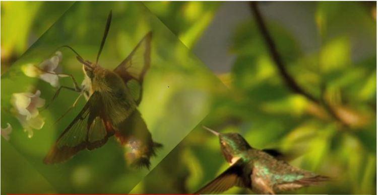Hummingbird and moth