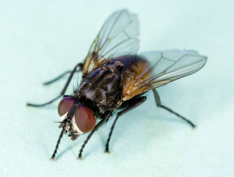 1920px-Common_house_fly,_Musca_domestica