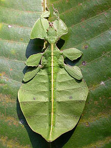 220px-LeafInsect