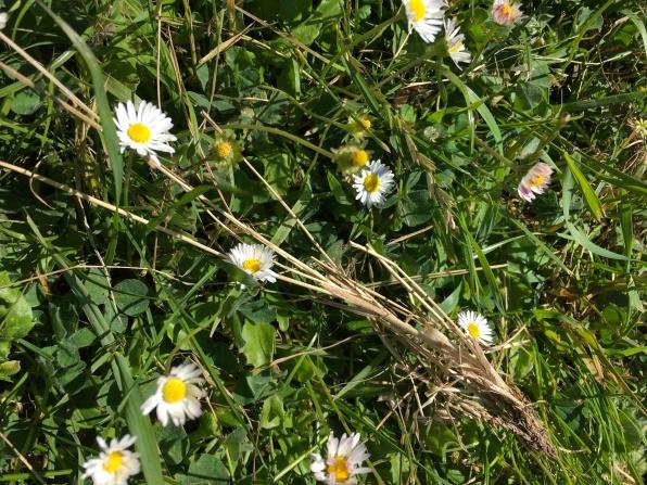 Lawn Daisy (Bellis perennis)