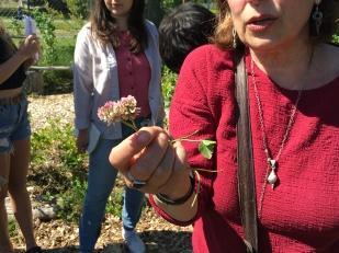 Red clover (Trifolium sp.)