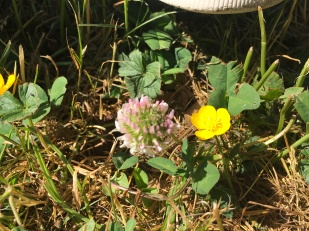 Clover is edible, buttercup is NOT