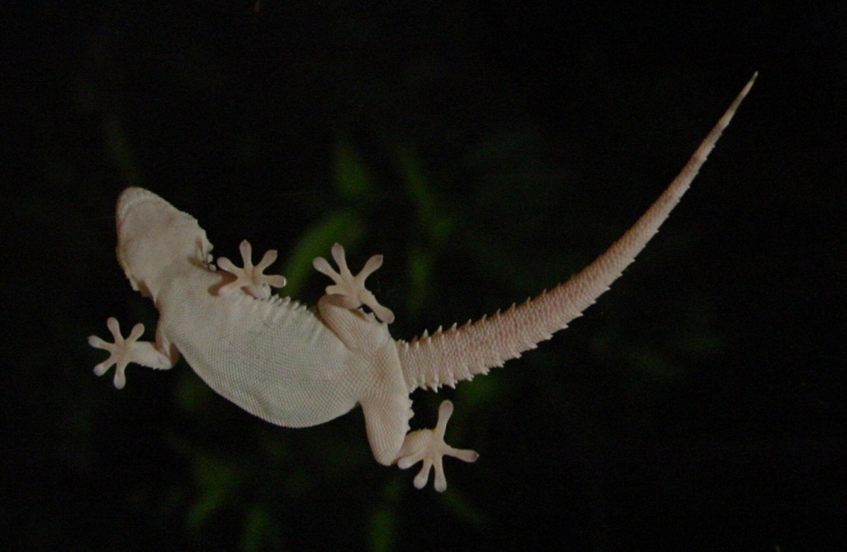 Gecko_on_window