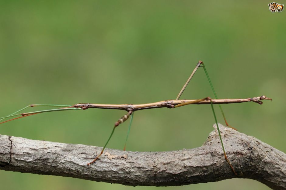 stick-insects-do-they-make-good-kids-pets-53ba63fdbbac3